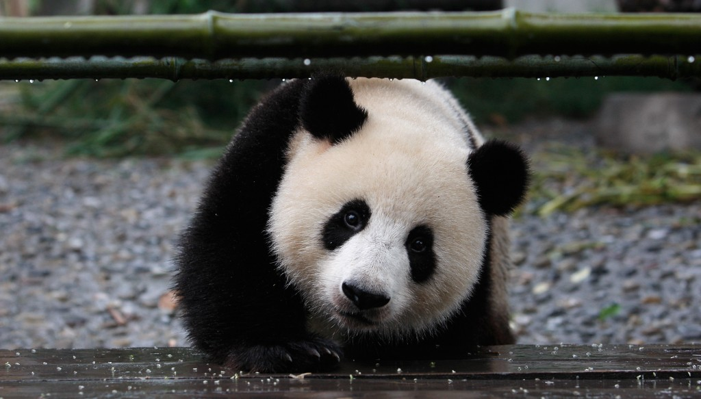 CH: Lack Of Tourists Aftr Earthquake At Pandas Breeding Center in Chengdu