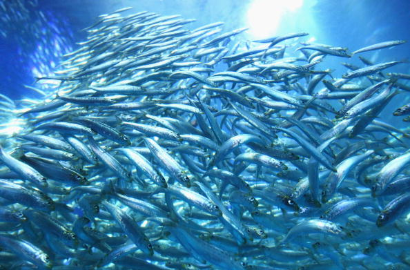 50000 Sardines Swimming New Tank Launched At Aquarium In Yokohama