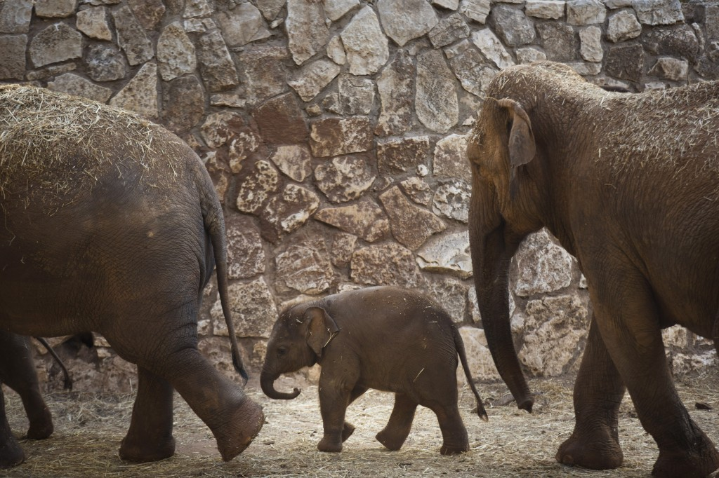 New Born Elephants Appear At The Safari Zoo In Israel
