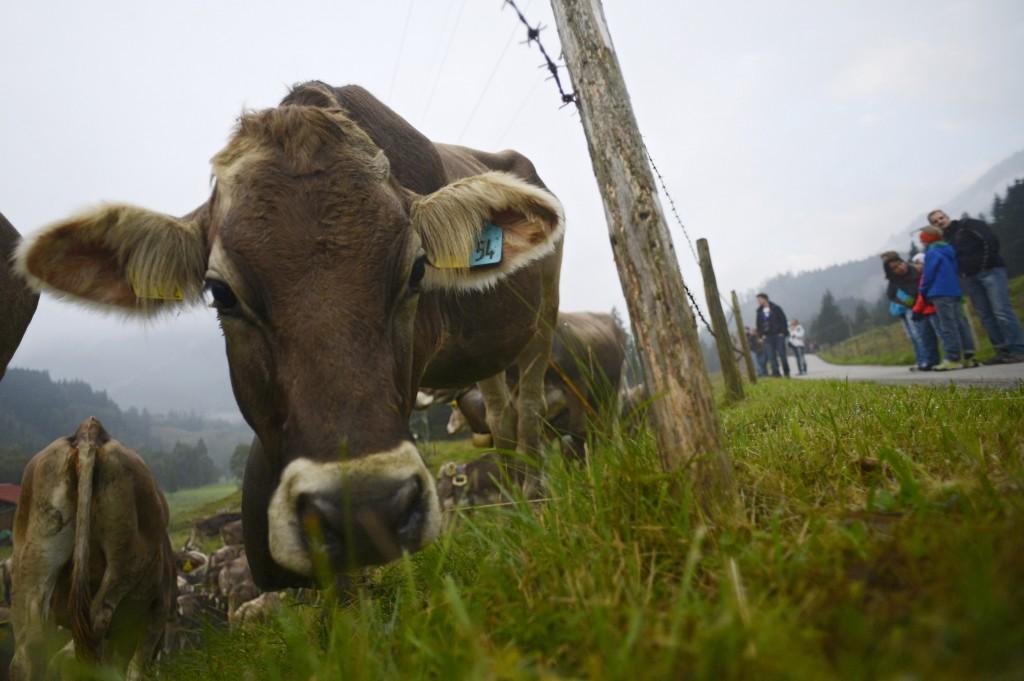 Cattle Return From Alpine Summer Grazing